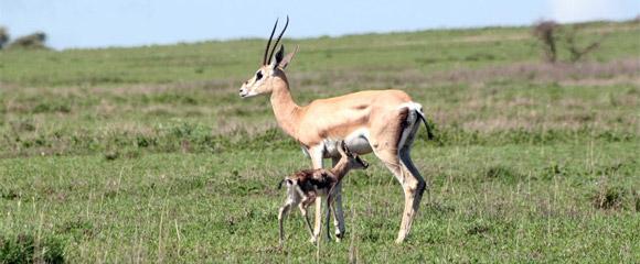 African Bambi, filme apresentado em 2009